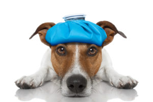 Sick and ill jack russell dog on the floor with hangover and fever with ice bag on head, isolated on white background